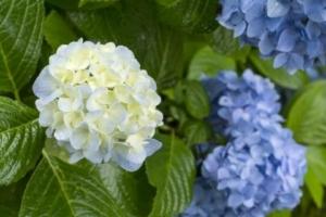 ブログ5用紫陽花